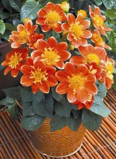 Goldalia 'Orange'. Foto: Blomsterfrämjandet/Syngenta.