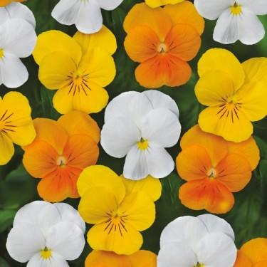 Viola tricolor 'Sorbet Citrus Mix'