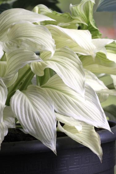 Hosta 'White Feather', en unik, ny vit sort som kommer dra blickarna till sig.  Beställ här: [Perennerbjudande](http://erbjudande.odla.nu/bpr/?p=1)