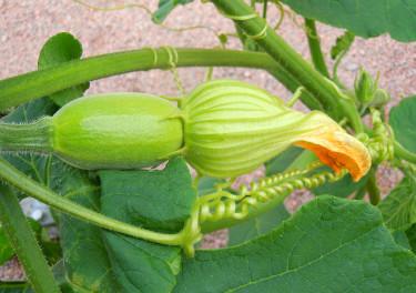 Vissnande honblomma, fruktämnet utvecklas bra. Foto: Sylvia Svensson
