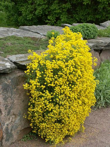 Lysande gult i stenpartiet med praktstenört _Aurinia saxatilis_ 'Compacta'. Foto: Sylvia Svensson