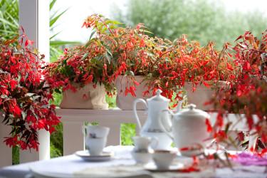Hängbegonia på rad på verandaräcket. Otroligt vackert! Foto: Blomsterfrämjandet