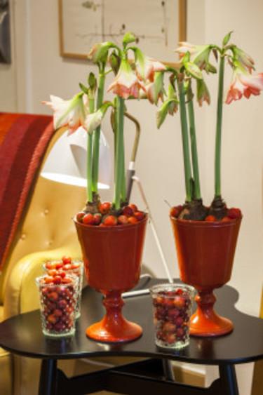 Amaryllis i röda krukor och med röda prydnadsäpplen. Foto: Blomsterfrämjandet/Anna Skoog