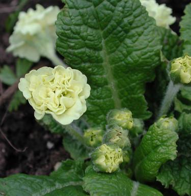 Primula vulgaris 'Val Horncastel'. Foto: Sylvia Svensson