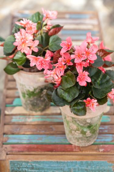 Två höstbegonia, _Begonia x hiemalis_, 'Ceveca' utgör ett vackert blickfång.  Foto: Blomsterfrämjandet//Minna Mercke Schmidt