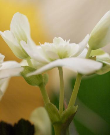Begonia närbild. Foto: Blomsterfrämjandet.