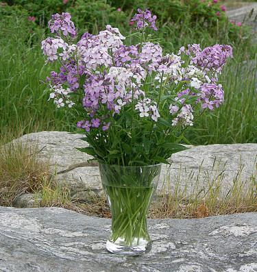 Judaspenningar, _Lunaria annua_, kan också hinna blomma till mors dag om våren är tidig.
