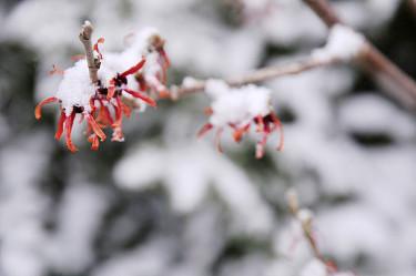 Hybridtrollhassel 'Diane' efter ett vintrigt bakslag. Foto: Sylvia Svensson
