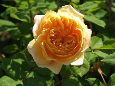 Eleganta rosen Crown Princess Margareta blev Årets ros 2012.  Foto: [Odla.nuShop](http://erbjudande.odla.nu/rr/)