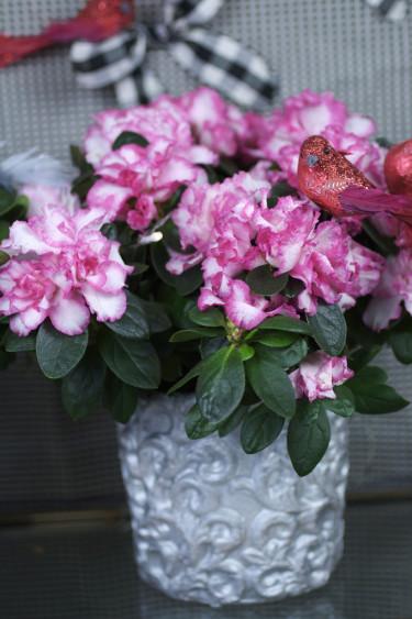 Azalea är en mycket omtyckt krukväxt.  Foto: Blomsterfrämjandet