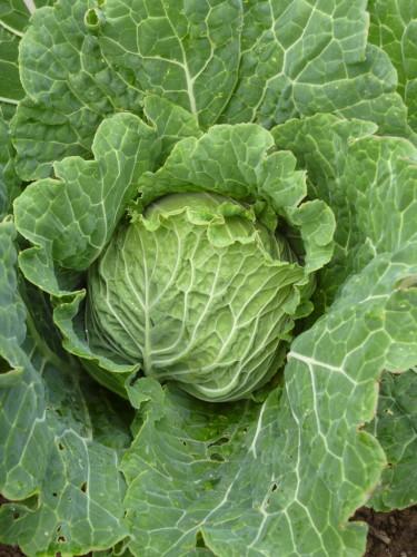 Det är trevligt att odla kål och fantastiskt nyttigt att äta! Här en friskt grön savoykål.