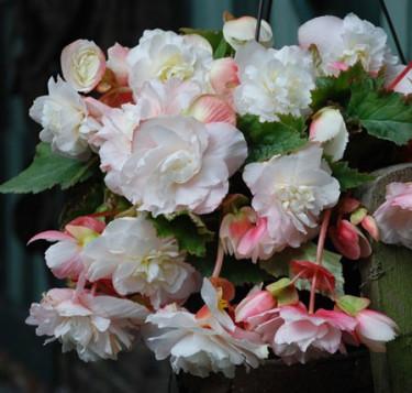 Begonia x tuberhybrida 'Fragrant White' Foto: Mr. Fothergill's
