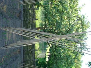 Bambupinnar i kors med en ihopsamlande pinne i klykorna. Enkelt! Foto: Katarina Kihlberg