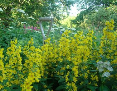 Den gula praktlysingen, Praktlysing (Lysimachia punctata) slukar snart hela spaden.