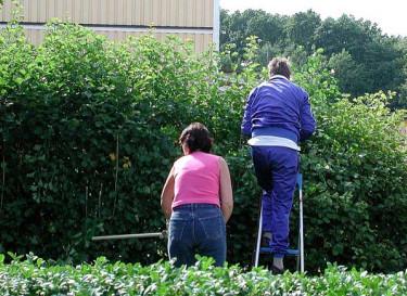 Häckklippning - det är bra att vara två och hjälpas åt, särskilt om ni kör med elektrisk häcksax. Foto: Sylvia Svensson