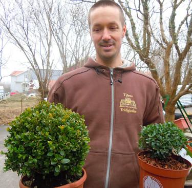 Trädgårdsmästaren hos Tjörns Trädgård visar en klotklippt buxbom till vänster och järneken, _Ilex crenata_ 'Dark Green', till höger. Foto: Sylvia Svensson