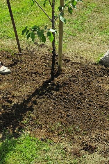 Krukklumpens ovansida ska vara i nivå med den omgivande marken. Städa undan skräpet. Foto: Bernt Svensson