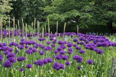 Alliumsorter, här bollökar, får vara ifred och kan skydda känsligare sorter. Foto: Bernt Svensson