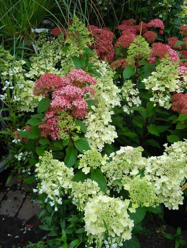 _Hydrangea paniculata_, 'Sundae Fraise®', nyutslagna klasar, blir rosa senare. Bakom i rosa, Hydrangea arborescens_, 'Invincibelle Spirit'