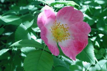 Rosa 'Frühlingsmorgen' kan du hitta information om i SKUD.  Foto: Sylvia Svensson