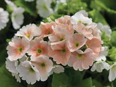 Fönsterviva, _Primula obconica_, 'Embrace Salmon Pictoee'.   Foto: Blomsterfrämjandet/Syngenta