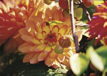Dahlia 'Gallery Pablo' närbild.  Foto: Blomsterfrämjandet