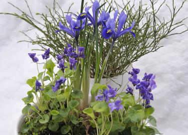 Fördrivna doftvioler och iris med en vas med blåbärsris. Foto och arr: Sylvia Svensson