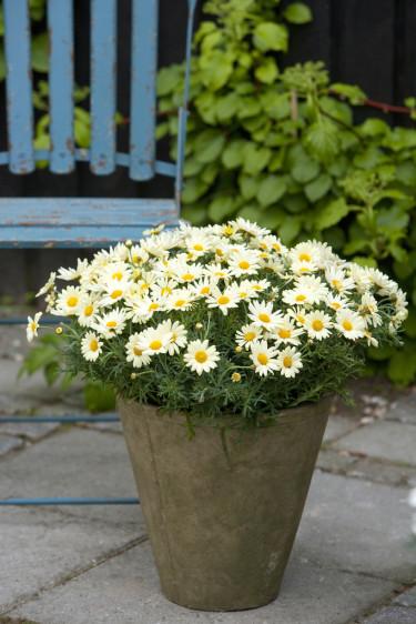Margueriterna pryder sin plats var du än väljer att ha dem. Foto: Floradania