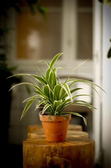 Ampellilja, _Chlorophytum comosum_.