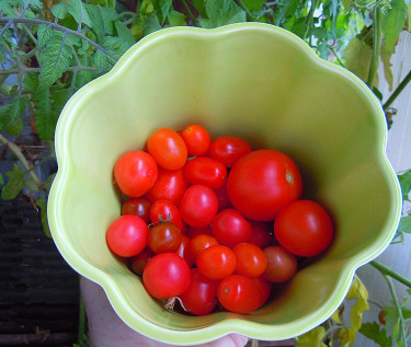 Egna solmogna tomater!