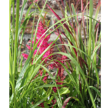 Bomullsgräs och astilbe. Foto: Blomsterfrämjandet