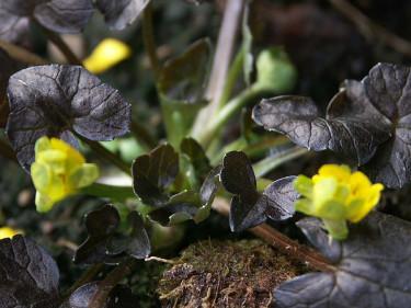Svalört, _Ranunculus ficaria_, 'Brazen Hussy'. Foto: Sylvia Svensson