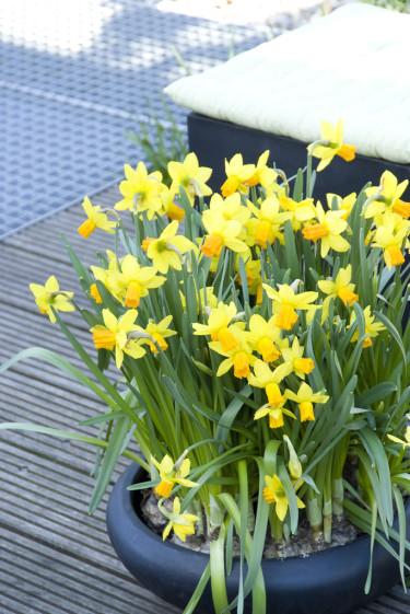 Fina påskliljor, _Narcissus_ , Jetfire®  Foto: Blomsterfrämjandet