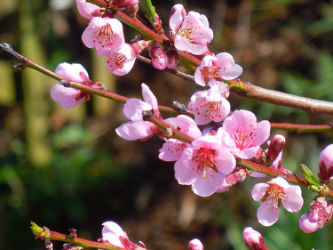 Persika 'Frost' blommar ljuvt med vackra rosa blommor. Foto: Sylvia Svensson