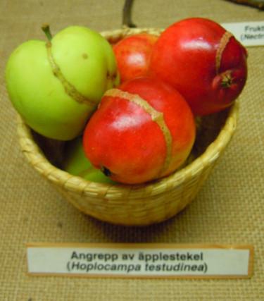 Skador av äpplestekel. Foto: Sylvia Svensson
