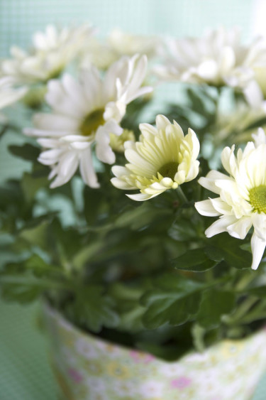 Krysantemum, _Chrysantemum x morifolium_. Foto: Blomsterfrämjandet-