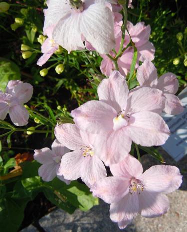 Kinesisk riddarsporre _Delphinium grandiflora_ 'Summer Morning'.