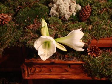 Driv upp amaryllis som lök eller köp som snittblomma att göra kul arrangemang av. Foto: Katarina Kihlberg