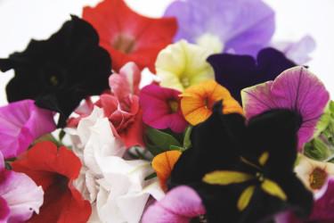 Ljuvliga petunior i en härlig mix!  Foto: Blomsterfrämjandet