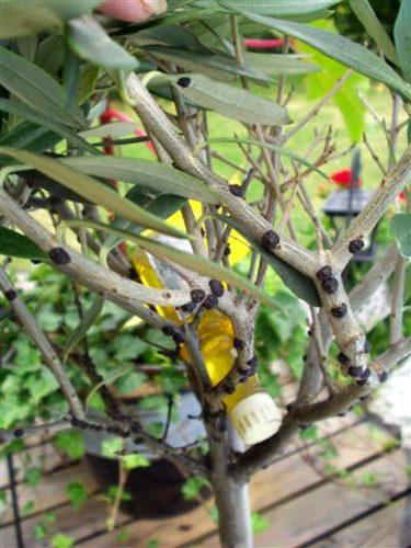 Hårda, svarta sköldar på olivträd.