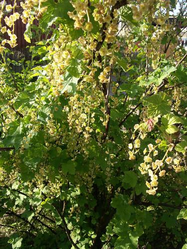 Det uppstammade, svarta vinbäret blommar ymnigt. Foto: Sylvia Svensson