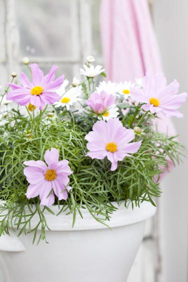 Rosenskära, _Cosmos bipinnatus_, är en riktig romantiker med sin ljuva blomma. Foto: Blomsterfrämjandet, Anna Skoog