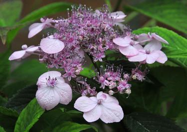 Purpurhortensia 'Woodlander'.