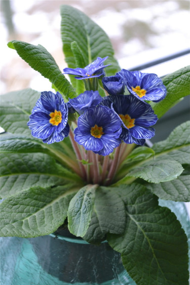 Prumula 'Delft' syn. 'Zebra Blue' Foto: Blomsterfrämjandet