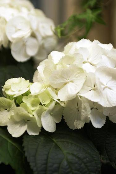 Hortensia (_Hydrangea Macrophylla_-gruppen). Foto: Mats Hallgren.