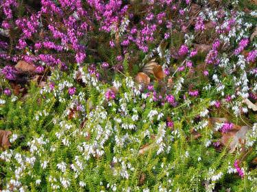 Vit och rosa vårljung.  Foto: Sylvia Svensson