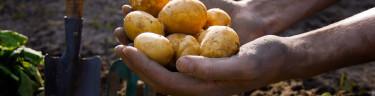 Det är en alldeles speciell känsla att äta färsk potatis från sitt eget land.