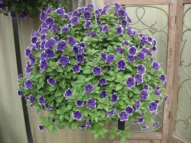 Petunia 'Rhythm & Blues' är en ny, unik petuniasort.  Foto: Blomsterfrämjandet/Hörnhems