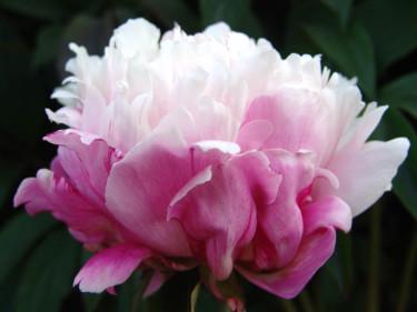 Paeonia 'Peaches and Cream' ®Foto: Odla.nu