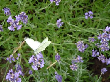 Lavendel med aurorafjäril